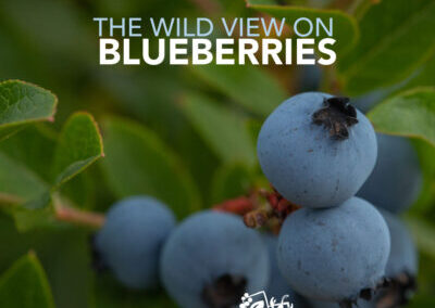 The Wild View on Blueberries